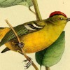 Birders hot on the trail for the Kinglet Calyptura