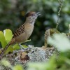 Giant Antshrike and Fulvous Whistling-Duck