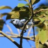 White-bellied Tanager