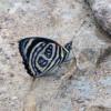 Butterflies of REGUA
