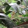 Maxillaria picta orchid