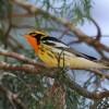 RJ state's 2nd Blackburnian Warbler at Pico da Caledônia