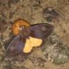 Meet the fruit piercing moths!