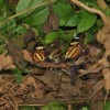 Clearwing Ithomiines: Atlantic Forest butterflies greedy for toxic plants