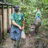 3 more tapirs arrived at REGUA!