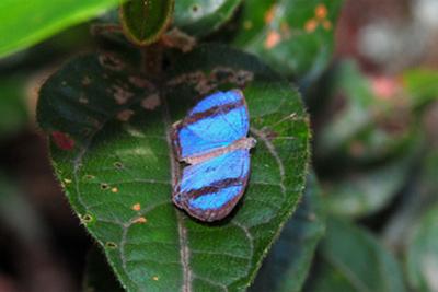 Male <em>Semomesia geminus</em>, REGUA (© REGUA)