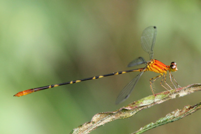 <em>Heteragrion consors</em> (© Tom Kompier)