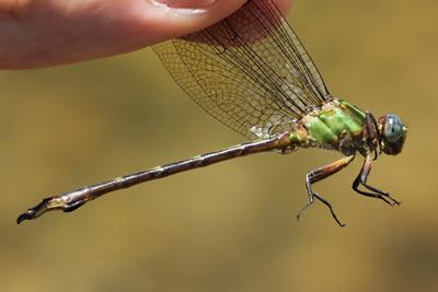 <em>Phyllocycla cf. pallida</em> (© Tom Kompier)