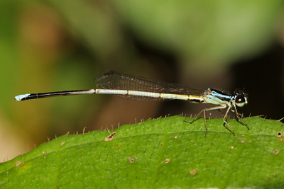 <em>Minagrion ribeiroi</em> male (© Tom Kompier)