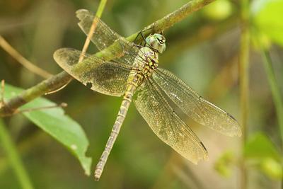 Female <em>Coryphaeschna viriditas</em> (© Tom Kompier)