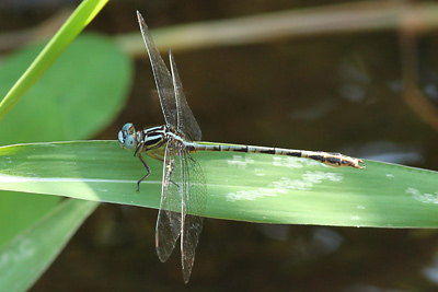 Male <em>Phyllocycla viridipleuris</em> (© Tom Kompier)