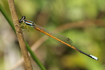 Male <em>Minagrion waltheri</em> (© Tom Kompier)