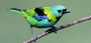 green-headed-tanager-6165-lee-dingain