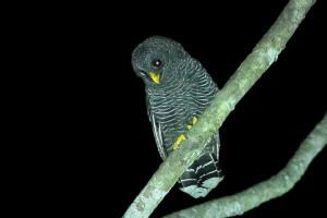 black-banded-owl-013-nicholas-locke-700w