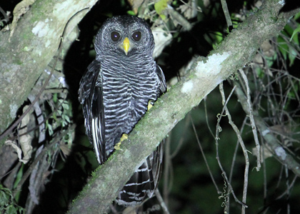 black-banded-owl-3368-chris-townend-420x300