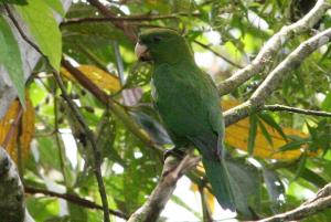 blue-bellied-parrot-4-2011-083-adilei-carvalho-da-cunha-700w