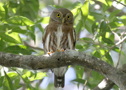 least-pygmy-owl_5303-lee-dingain-420w