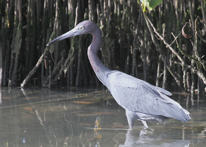 little-blue-heron_1032-lee-dingain-420w