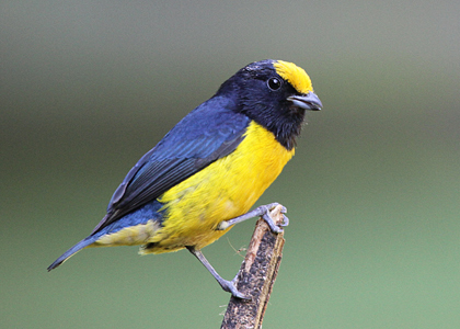 orange-bellied-euphonia_6265-lee-dingain-420w