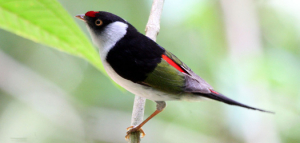 pin-tailed-manakin-leonardo-pimentel-525w