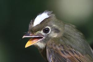 russet-winged-spadebill-9896-lee-dingain-700w