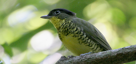 shrike-like-cotinga-lee-dingain-420w