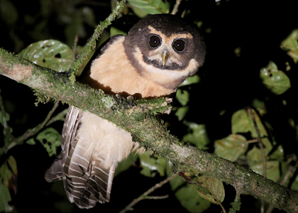tawny-browed-owl-0677-lee-dingain-420x300