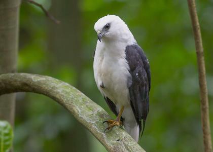 white-necked-hawk-3092-3-daniel-jorge-420x300