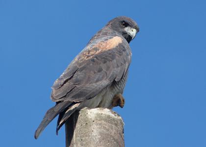 white-tailed-hawk-20012-127-adilei-carvalho-da-cunha