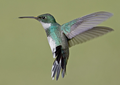white-throated-hummingbird-05-07-02-(149-b)-thor-ostbye-420w