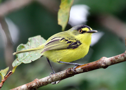 Yellow-lored Tody-Flycatcher (© Leonardo Pimentel)