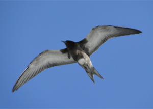 sooty-tern-mario-spinelli