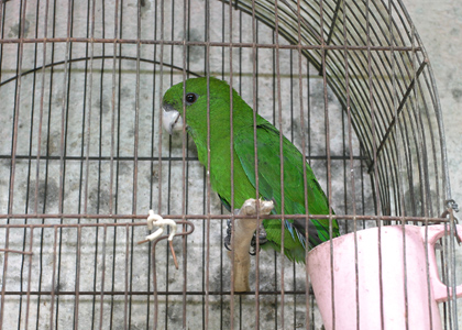 blue-bellied_parrot-9349-alan-martin-420x300