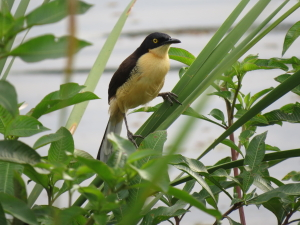 Black-capped Donacobius (© Ken Sutton)
