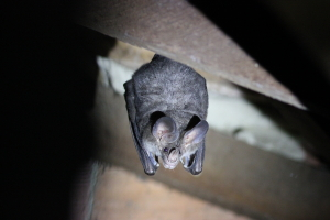 Big-eared Woolly Bat or Woolly False Vampire Bat