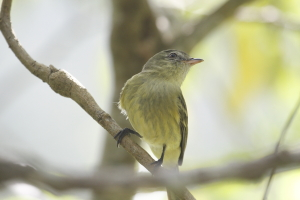 Rough-legged Tyrannulet showing off its distinctive legs