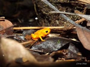 Brachycephalus ephippium Spix's Saddleback Toad