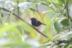 Black-hooded Antwren