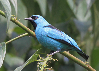 black-legged-dacnis-3035-lee-dingain-420w