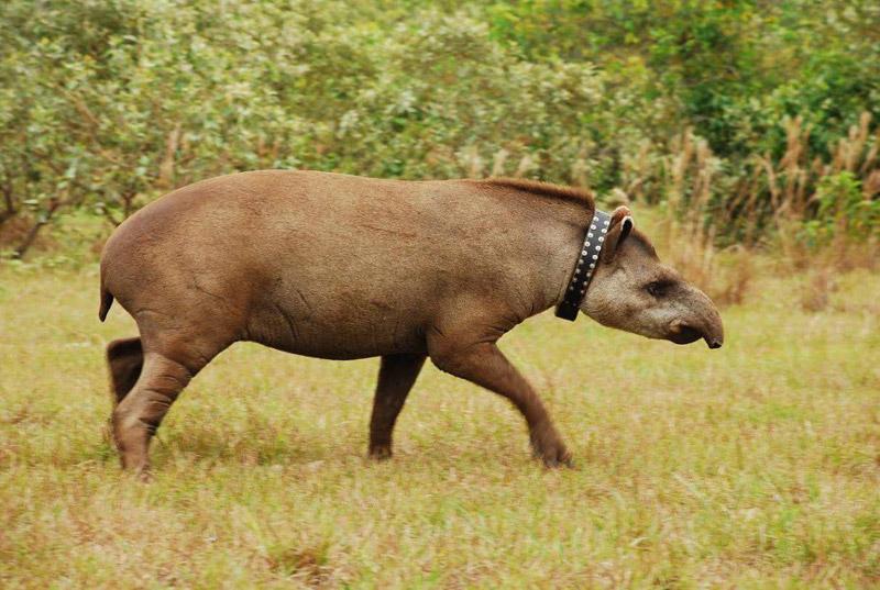 reintroduction-tapir-parque-estadual-dos-três-picos