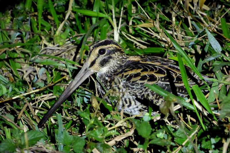 giant-snipe-p1170660-sue-healey-800x533