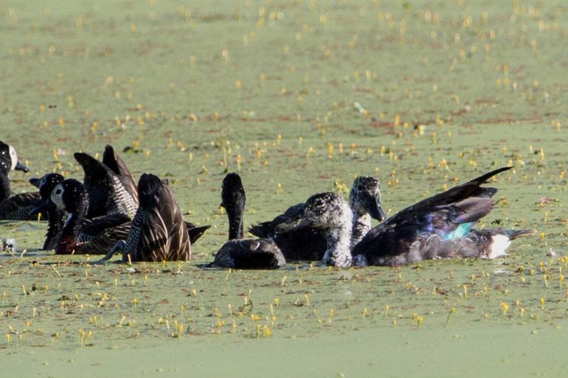 pato-de-crista-ricardo-mattos