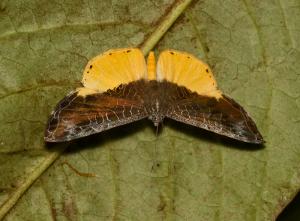 Catocyclotis aemulius (© Arnold Wijker)