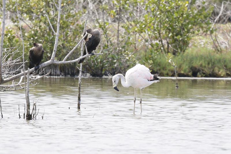 andean-flamingo_7630-a-alan-martin