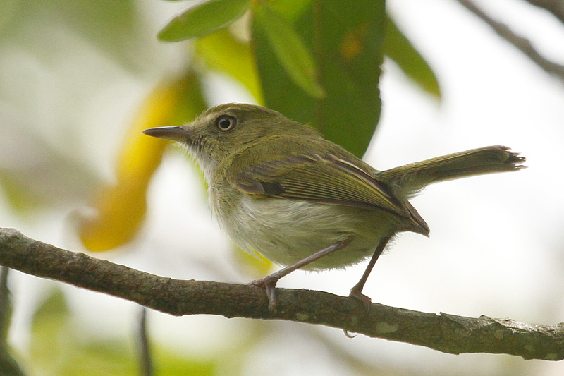 hangnest-tody-flycatcher-nicholas-locke-800x533