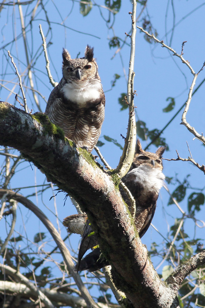 Great Horned Owls, REGUA, 19 August 2018 (© Adilei Carvalho da Cunha)