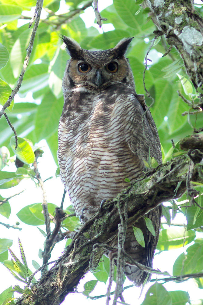 Great Horned Owl, REGUA, 19 August 2018 (© Adilei Carvalho da Cunha)