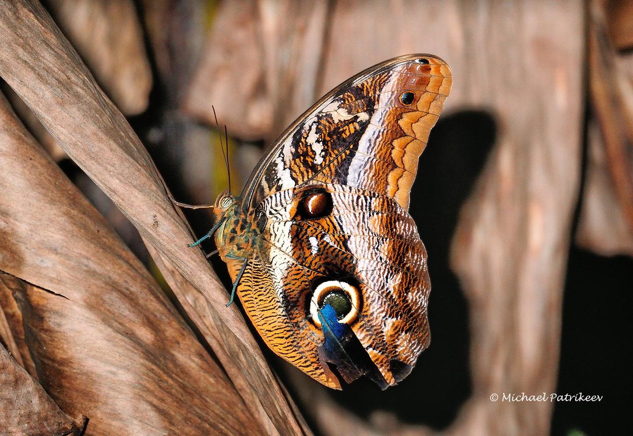 Idomeneus Owl-Butterfly <em>Caligo idomeneus</em>, REGUA, September 2010 (© Michael Patrikeev)