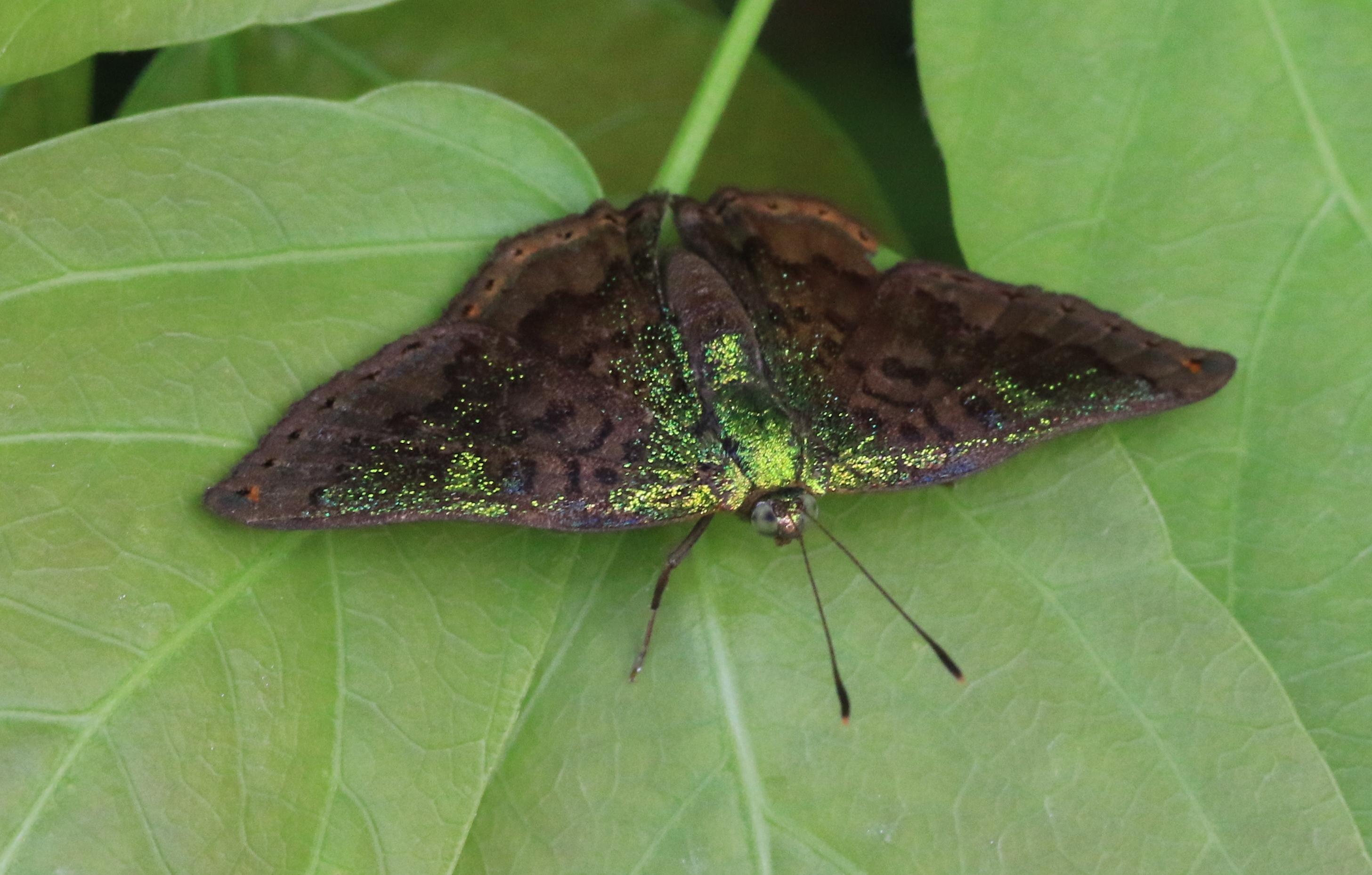 Castalia Green Mantle <em>Carea castalia</em> photographed near REGUA (© Nicholas Locke)