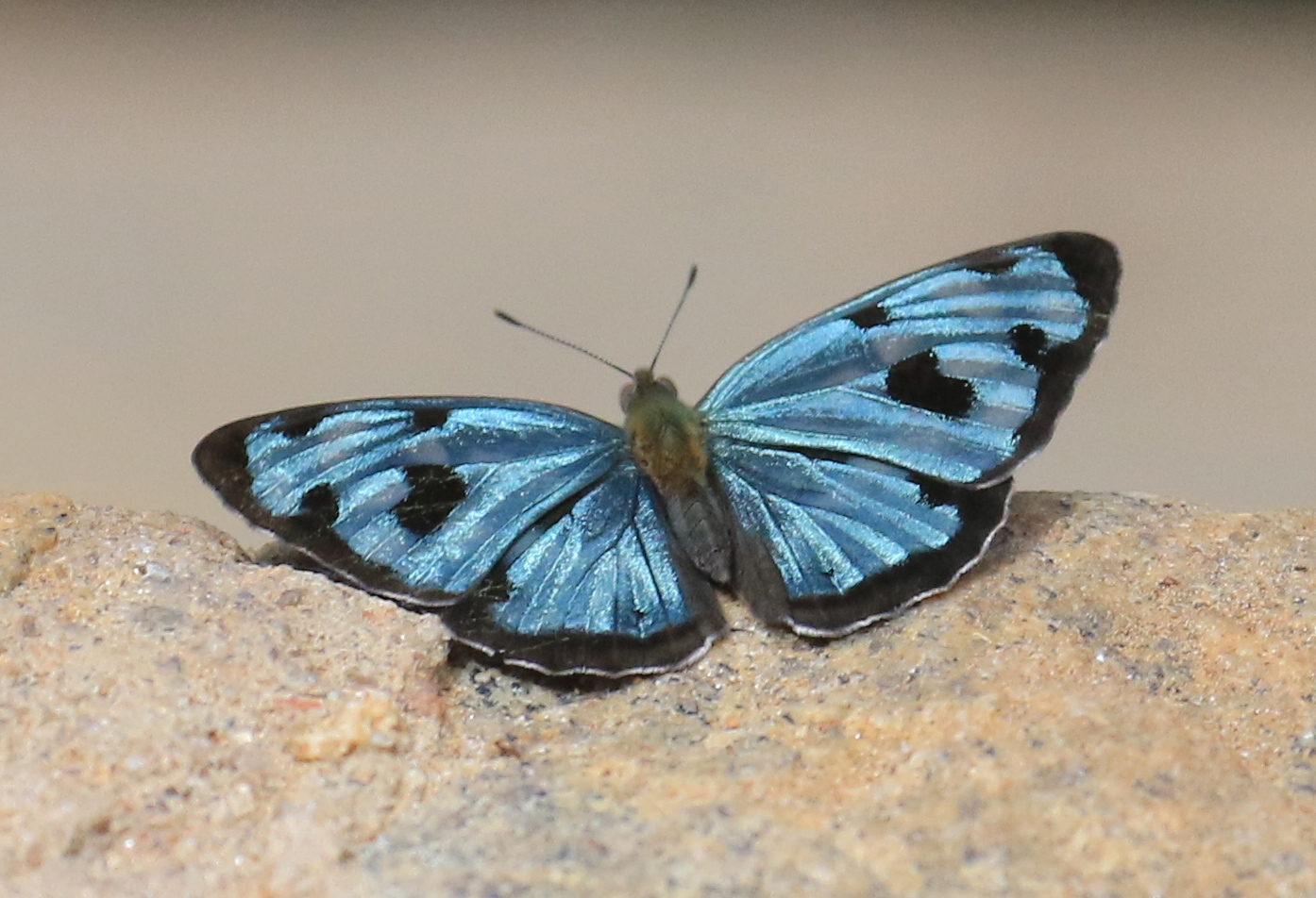 The stunning Four-spot Sailor <em>Dynamine. posverta</em> male, REGUA, June 2019 (© Robert Locke)